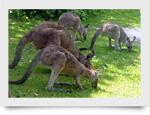 kangaroos_small